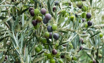 Prijave za 4. Smotru mladog maslinovog ulja Kanfanarštine